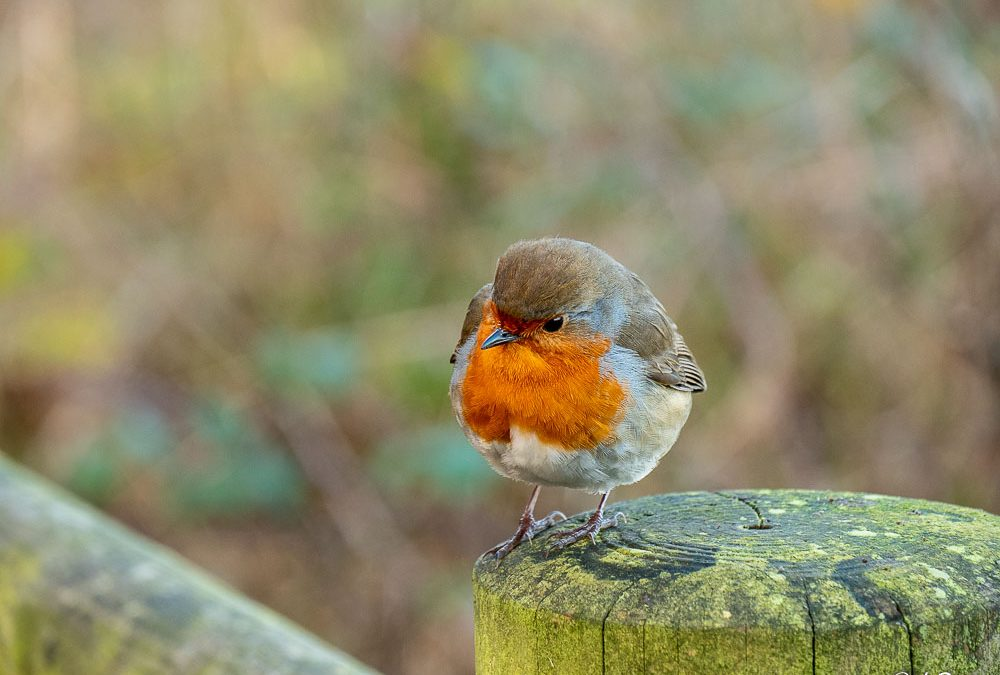 A Well Fed Robin
